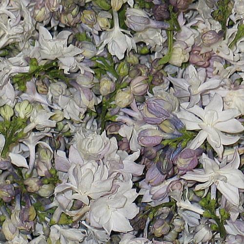 White Blend Fd Lilac Petals (30 Cups)