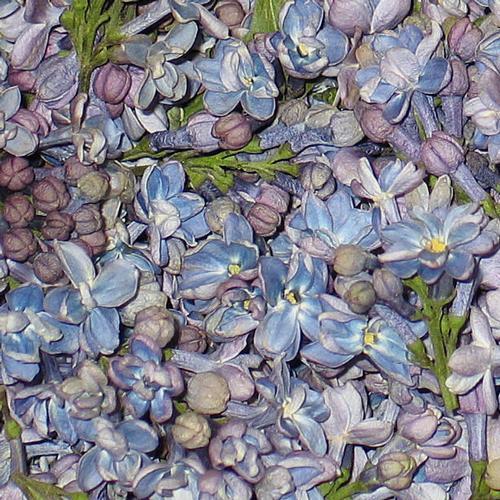 Periwinkle Fd Lilac Petals (30 Cups)