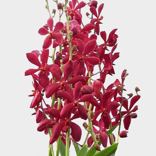 Dendrobium Red Mokara