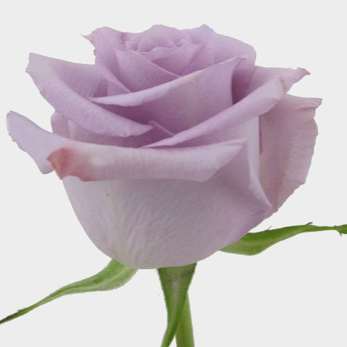 Rose Ocean Song Lavender 40 Cm