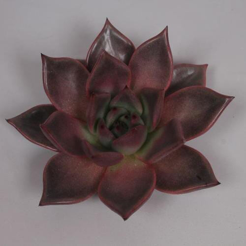 Taurus Large Succulents 12cm