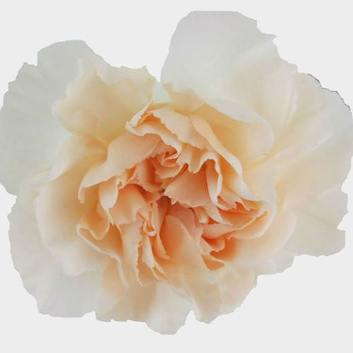 Peach Fancy Carnation Flowers