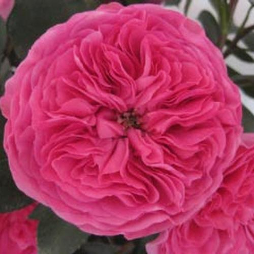 Garden Rose Baronesse Hot Pink Wholesale Blooms By The Box