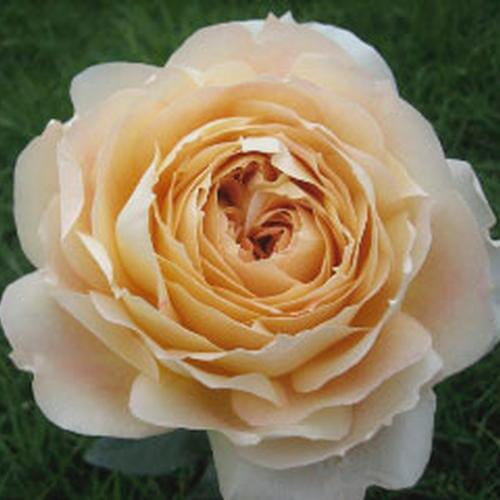 Garden Rose Caramel Antike Cream