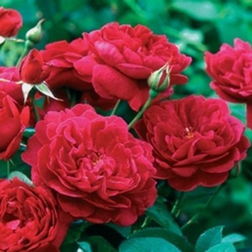Garden Rose Darcey  Red