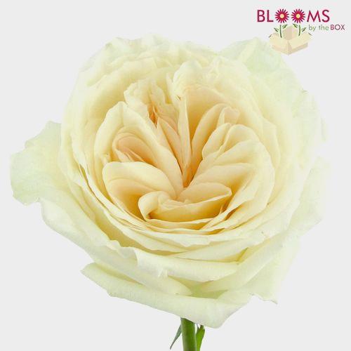 Garden Rose O'Hara White