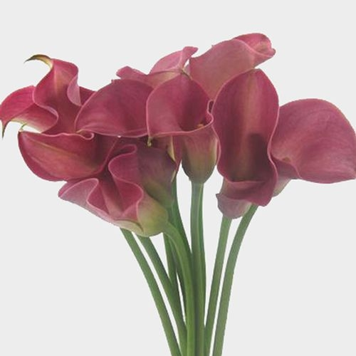 Calla Lily Mini Hot Pink Flower
