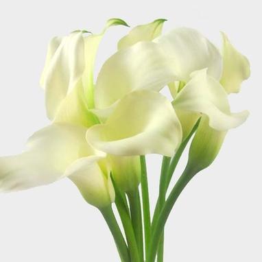 Calla Lily Mini White Flower Bulk Wholesale Blooms By The Box