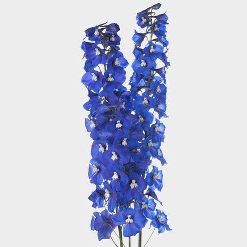 Hybrid Delphinium Dark Blue Flower