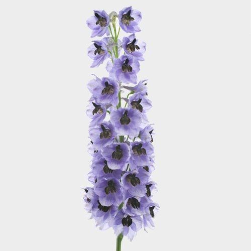 Hybrid Delphinium Purple