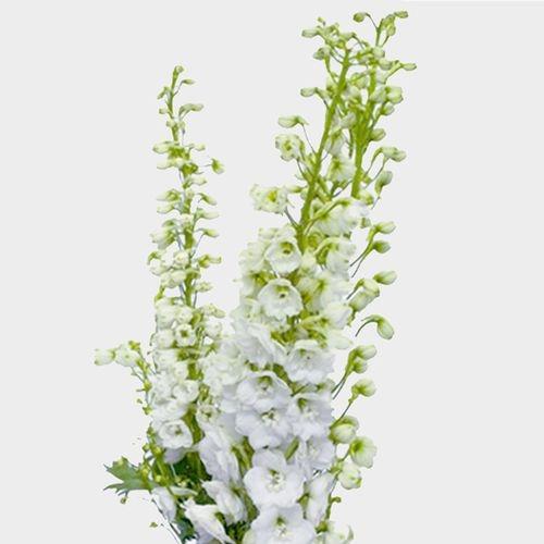 Hybrid Delphinium White Flowers