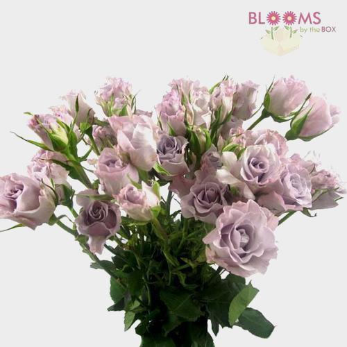 Spray Rose Lavender