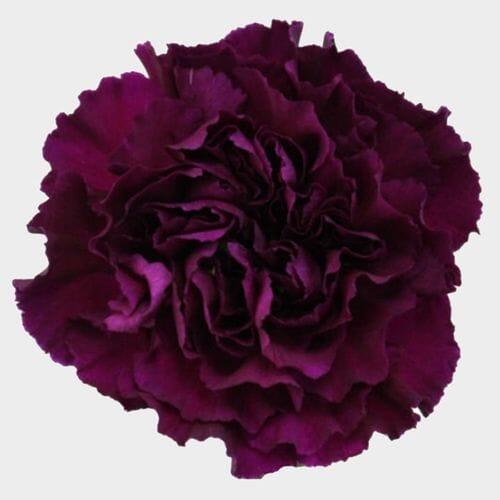 Purple Carnation Flowers - Fancy