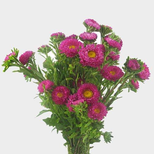 Matsumoto Hot Pink Flowers