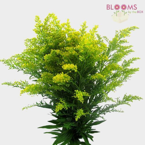 Golden Solidago