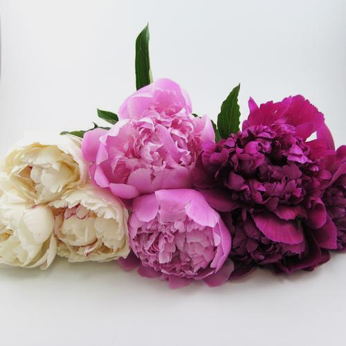 Peony SINGLE Color Flower Pack (60 Stems)