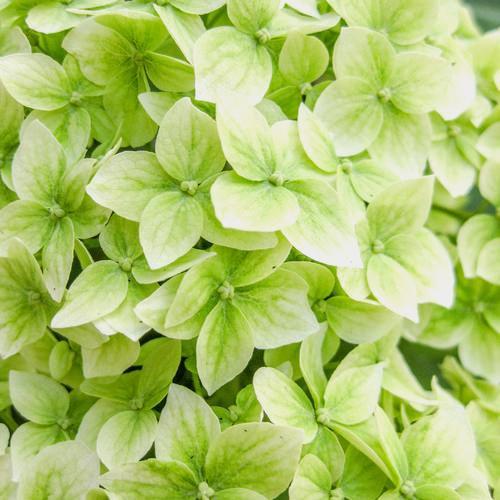 Hydrangea Mojito Green Flower