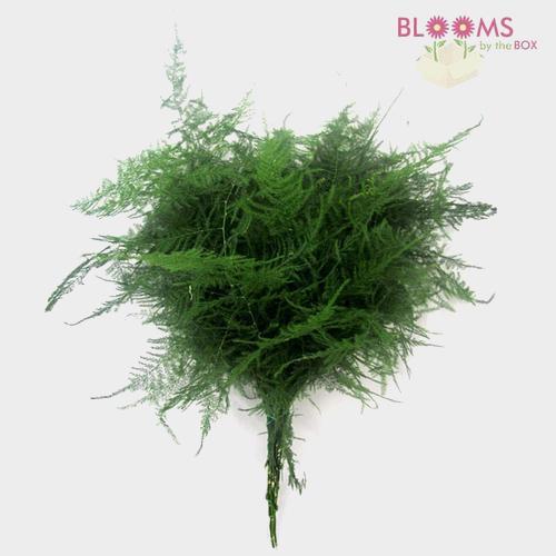 Plumosus Fern Greenery