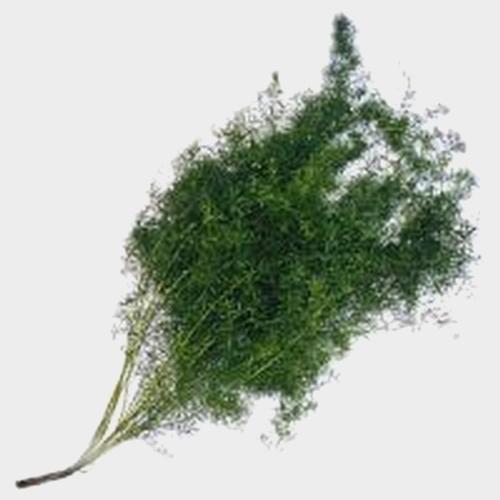 Sprengeri Fern Greenery