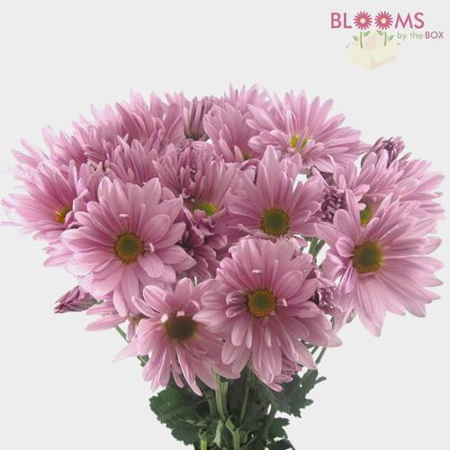 Pompon Daisy Lavender Flowers