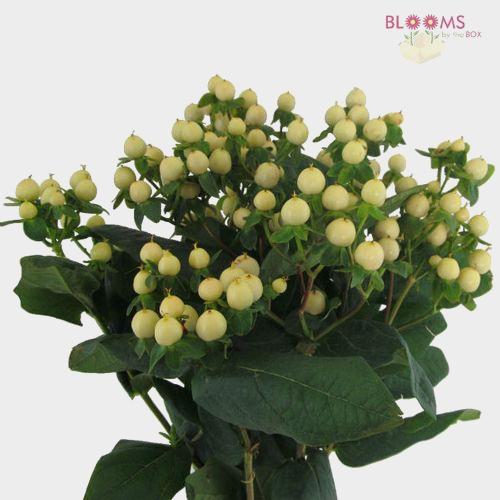 Hypericum White Flowers