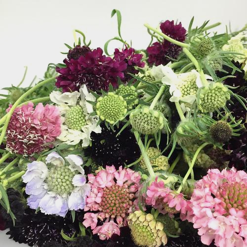 Scabiosa Flowers Assorted Colors (10 Bunches)