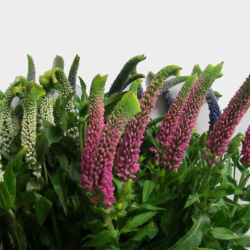 Veronica Assorted Colors (10 Bunches)