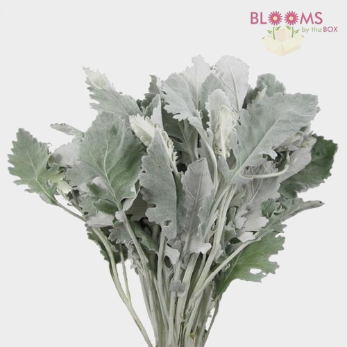 Dusty Miller Greenery Assorted (6 Bunches)