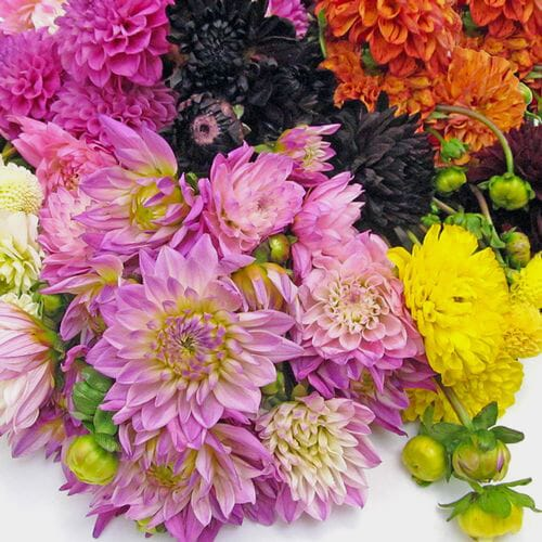 Assorted Dahlias 5 Bunch X 10 Stem Box (50 Stems)
