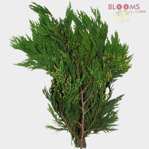 Incense Cedar 25 Lbs Box