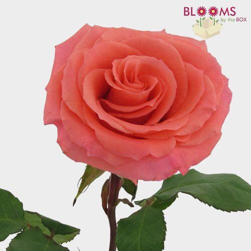 Rose Amsterdam 40 Cm