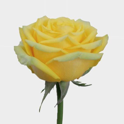 Rose High & Exotic 40 Cm
