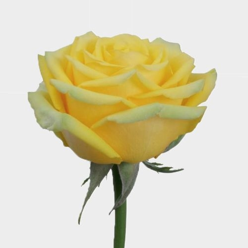 Rose High & Exotic 50 Cm.
