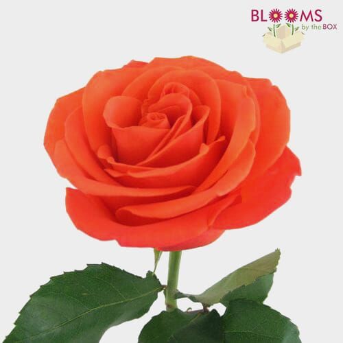 Rose Orange Crush 40cm Bulk