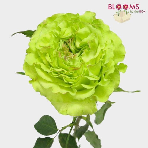 Rose Super Green 40cm Bulk