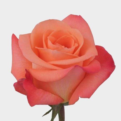 Rose Tropical Amazon 50 Cm.