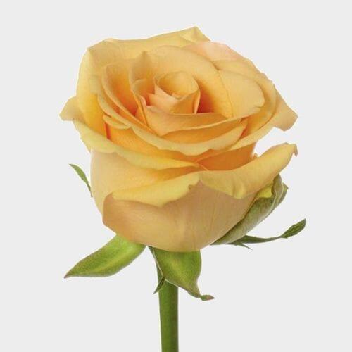 Rose Cumbia 50 Cm.