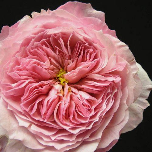 Garden Rose Constance Pink