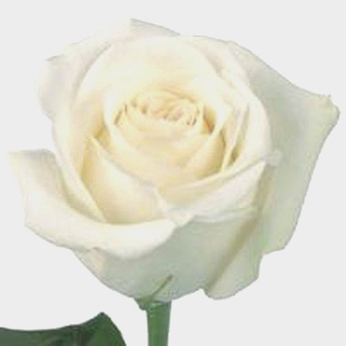 Rose Akito White 40 Cm