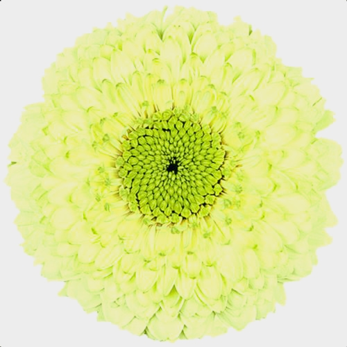 Gerpom Green Flower