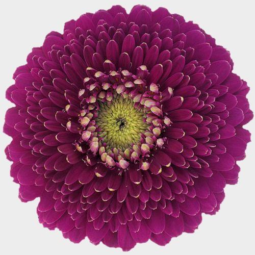 Gerpom Purple Flower