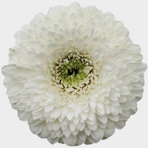 Gerpom White Flower