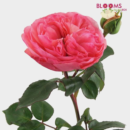 Garden Rose Hot Pink