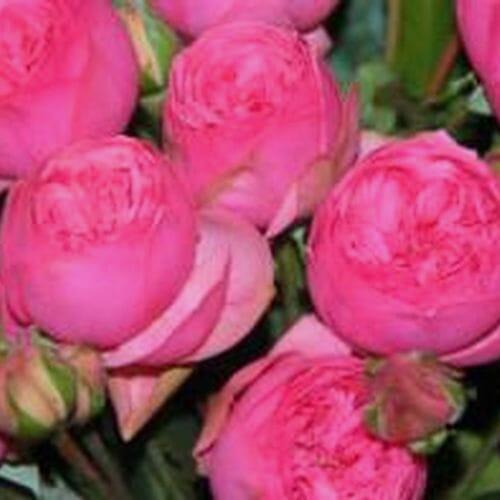 Spray Garden Rose Hot Pink