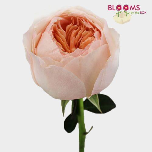 Garden Rose Peach