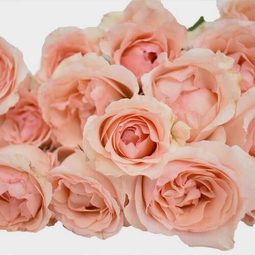 Spray Garden Rose Peach