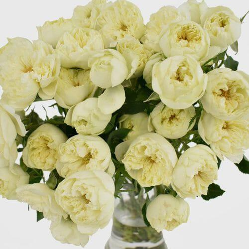 Spray Garden Rose White