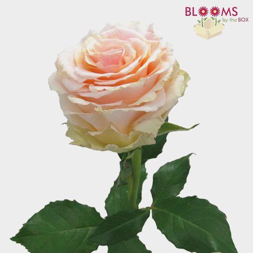Rose Ghobi Peach 50cm