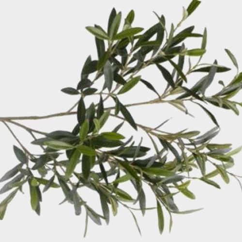 Olive Branch Greenery