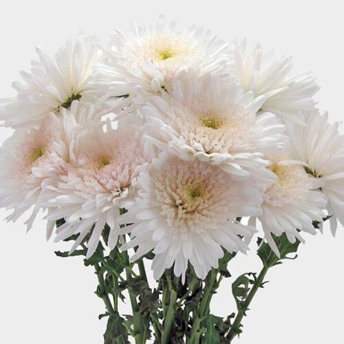 Chrysanthemums Bulk Flowers Blooms By The Box